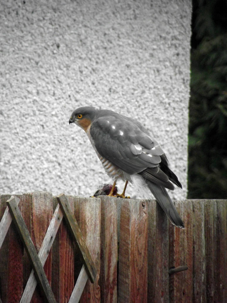 Sparrowhawk's breakfast 02