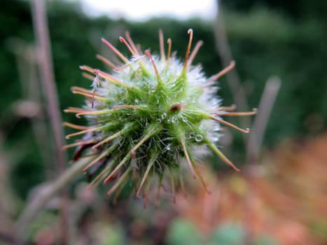 Spiky Autumn fruit