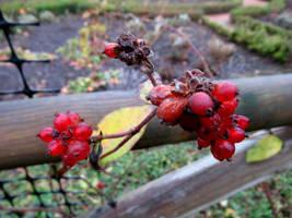 Honeysuckle fruits