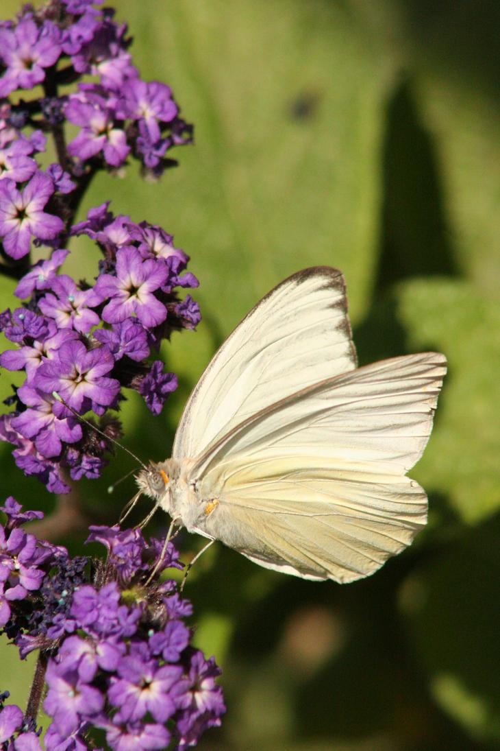 Butterfly by OrioNebula