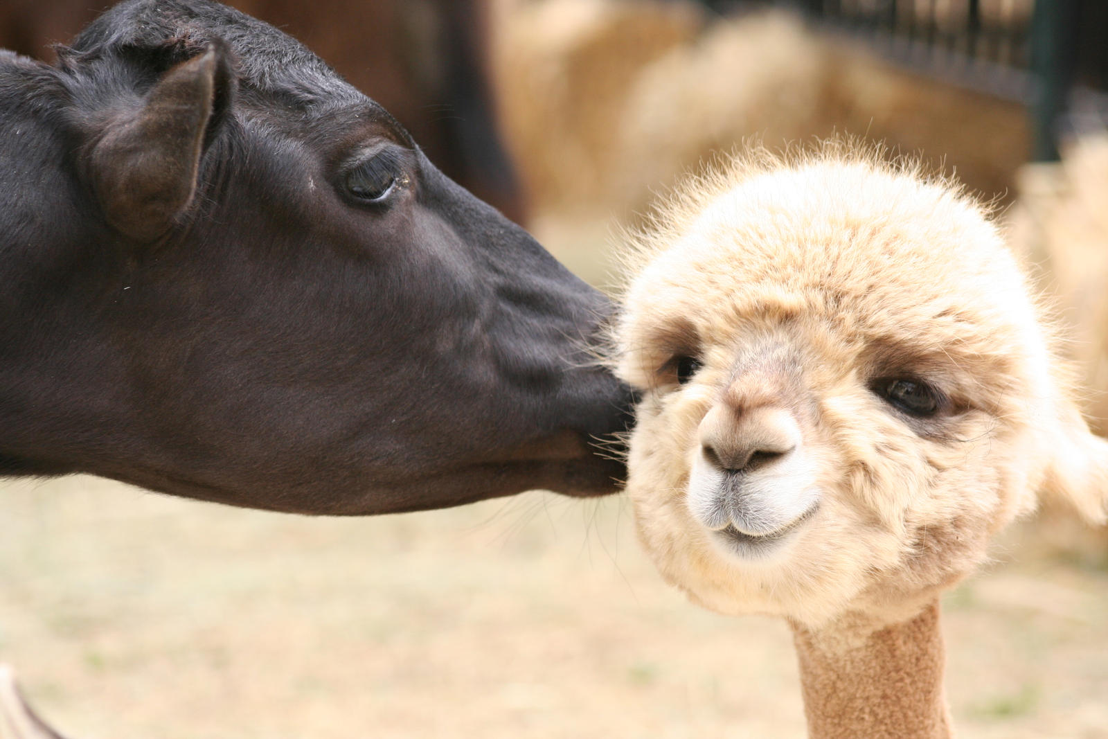 Cow Kisses Alpaca by OrioNebula
