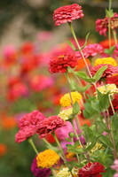 Field of Zinnias by I-Heart-Photos