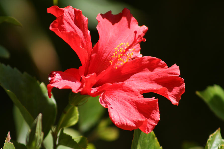 Red Hibiscus by I-Heart-Photos on DeviantArt