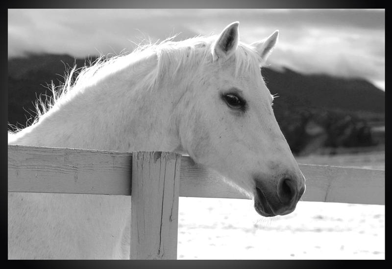 White Horse - Infrared by I-Heart-Photos