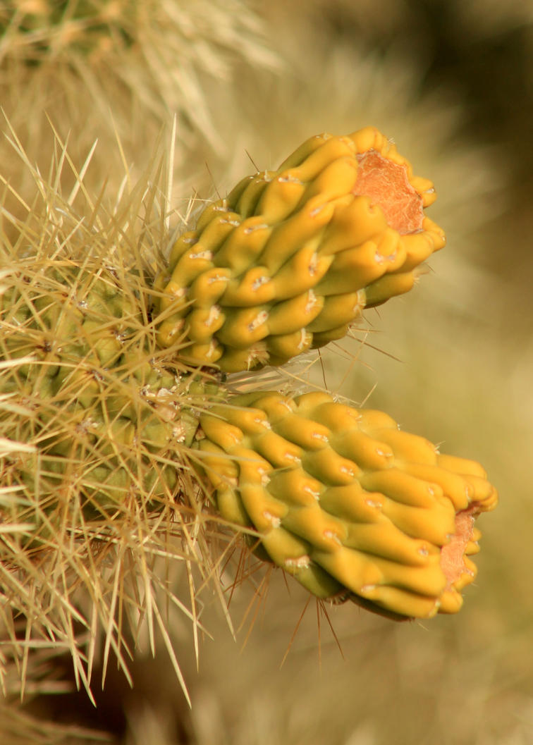 The Fruit of the Teddy Bear Cholla by OrioNebula