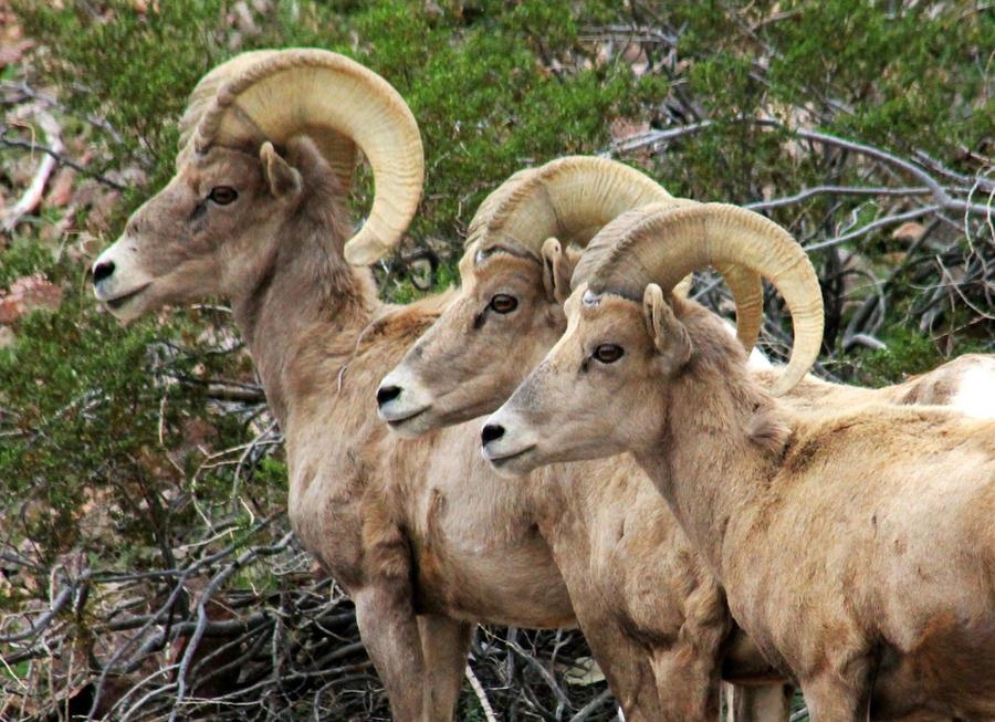 Bighorn Sheep by I-Heart-Photos