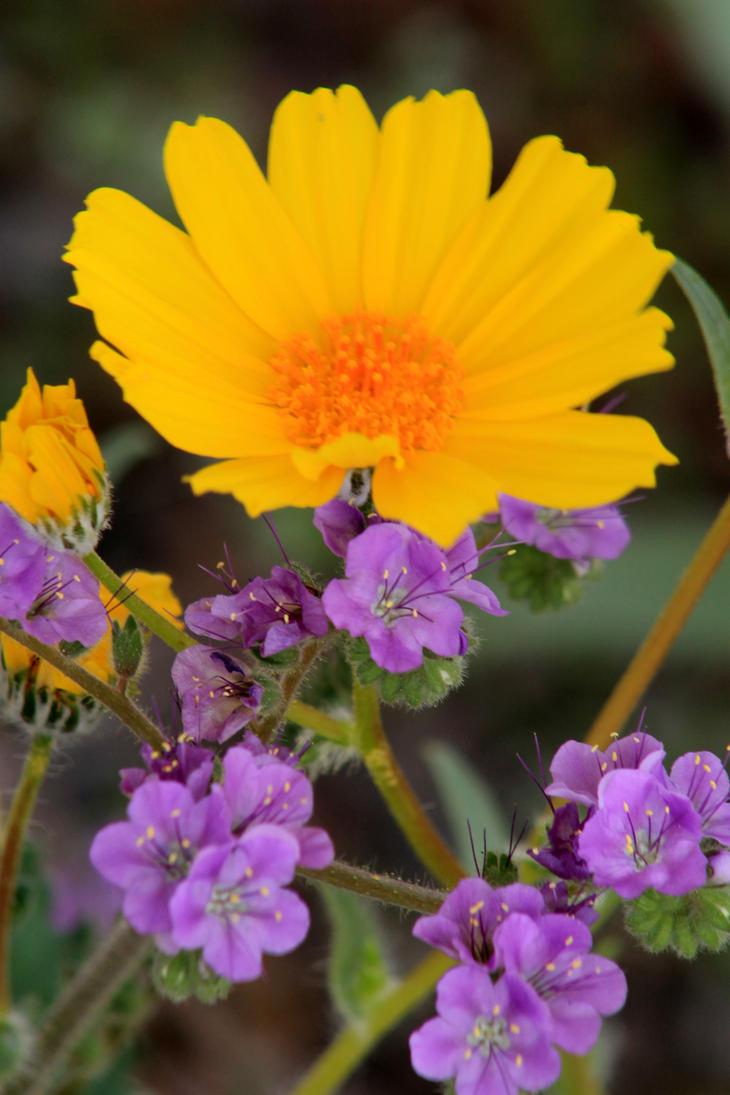 Desert Wildflowers by I-Heart-Photos
