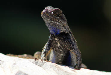 The Lizard with the Purple Throat by I-Heart-Photos