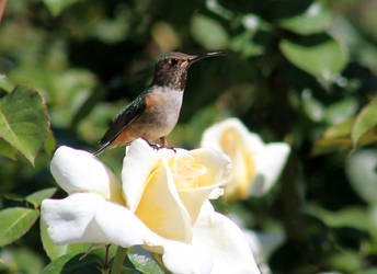 The Hummingbird and the Rose by I-Heart-Photos