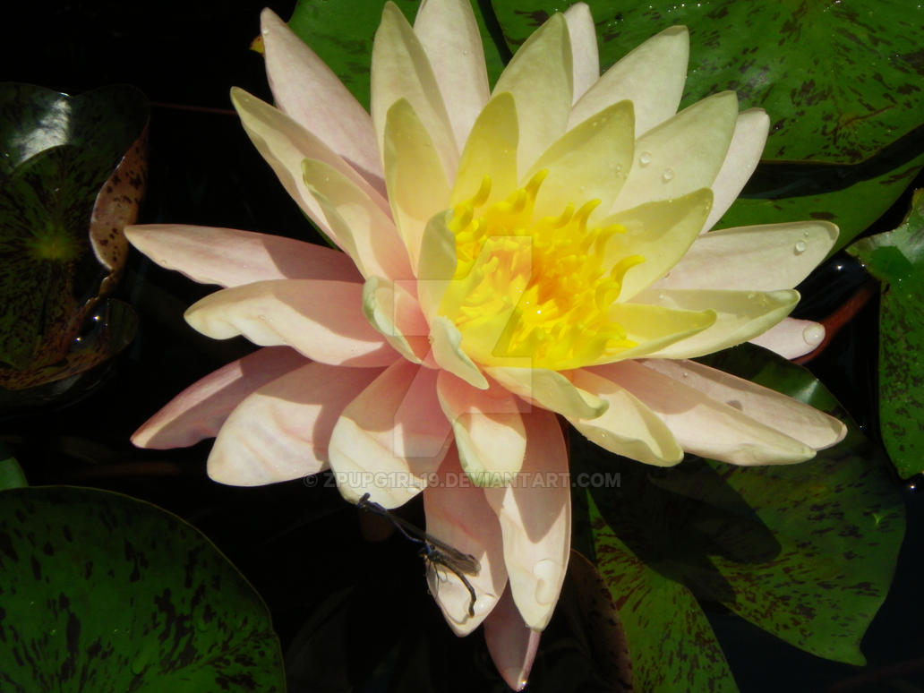 Dragon Water Lily By Zpupg1rl19 On Deviantart