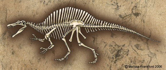Spinosaurus Skeleton by mmfrankford
