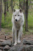 Wolf 6 by ma8201