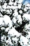 Snowy Pine by Doll-Ladi