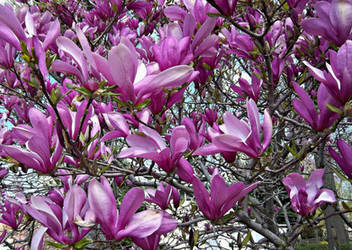Magnolia In Bloom by Doll-Ladi