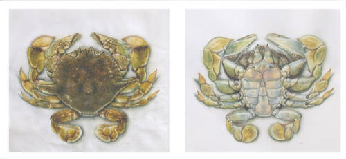Oar footed crab by TerriMac