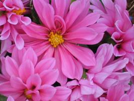 GA-Pink Dahlias by DWALKER1047