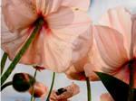 Poppy-3 by DWALKER1047