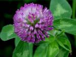 Wild Lavender Clover
