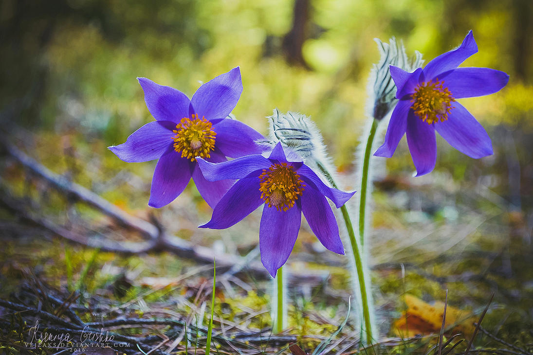 Pasque Flowers by VeilaKs