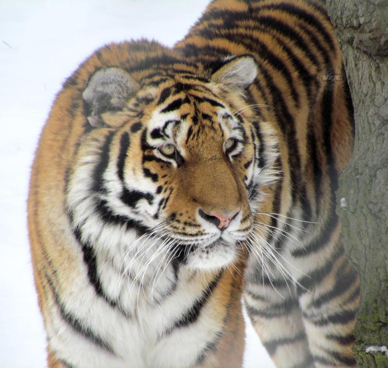 Tiger 18 by Vertical-Misfit