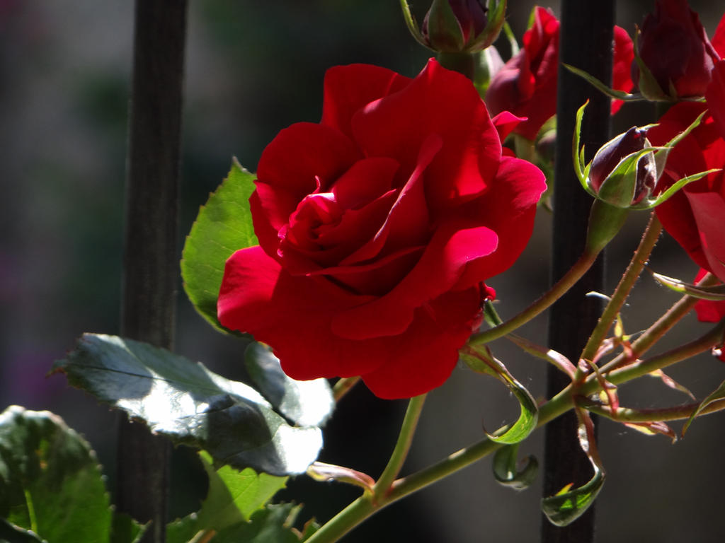 Red Rose of Brittany by Korventem