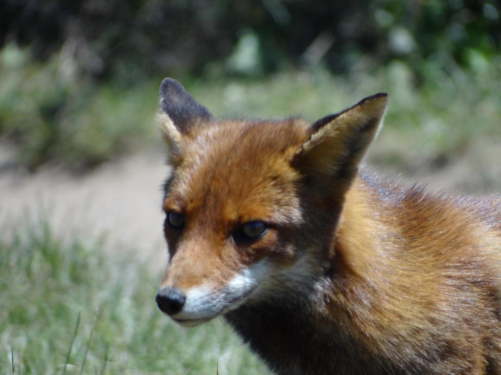 Little Fox by Korventem