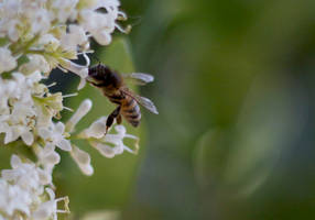 Honey Bee Kissing a Flower by Tazmaa