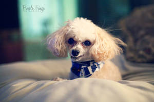 Little Poodle by KirstieeRae