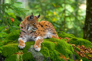 Lynx by VirtualWords