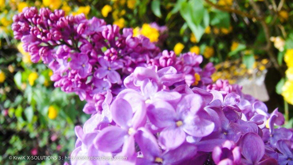 fleur de lilas violet nature en alsace natu 112 by. Black Bedroom Furniture Sets. Home Design Ideas
