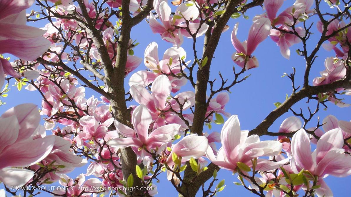 eclosion de fleurs printemps 2012 magnolia senteur by kiwik2010 on deviantart