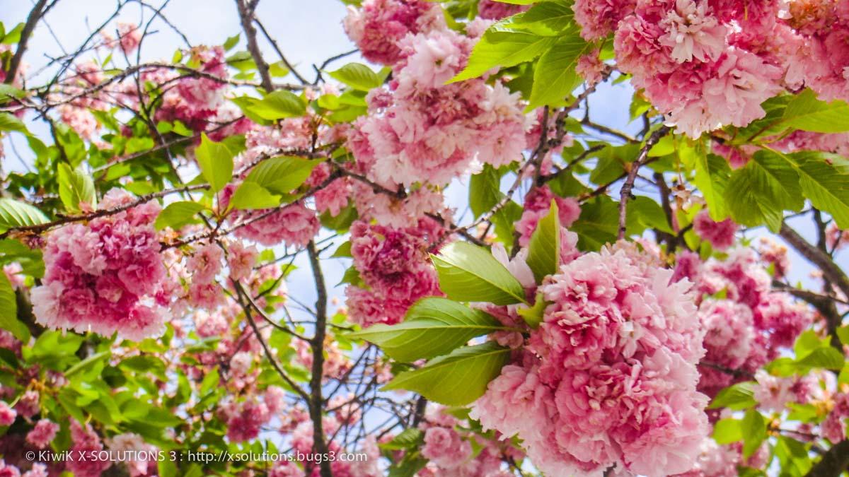 cerisier pleureur du japon nature alsace 00529 by kiwik2010 on deviantart. Black Bedroom Furniture Sets. Home Design Ideas
