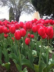 tulip festival by 70f9