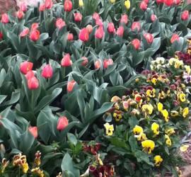 tulip festival 2 by 70f9