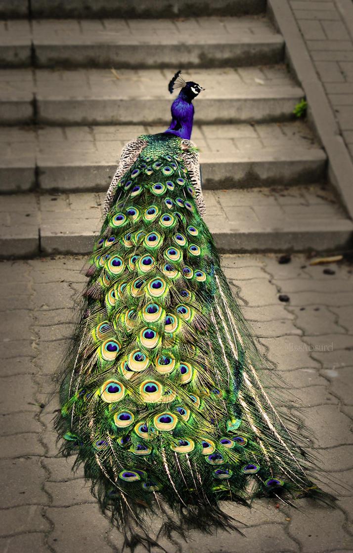 Mr Peacock by MissAbsurd