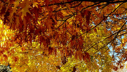 Fall 2018 -Jim Hill Park - Oak and Maple by Ryven