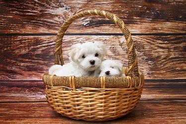 Gift-Basket Puppies!!