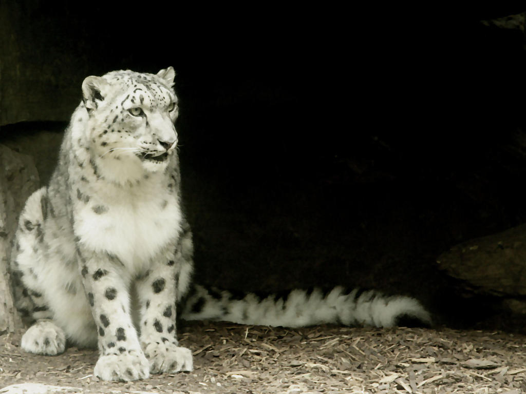 Snow Leopard Wallpaper by maddog1138