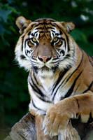 Sumatran Tiger 2117 by maddog1138