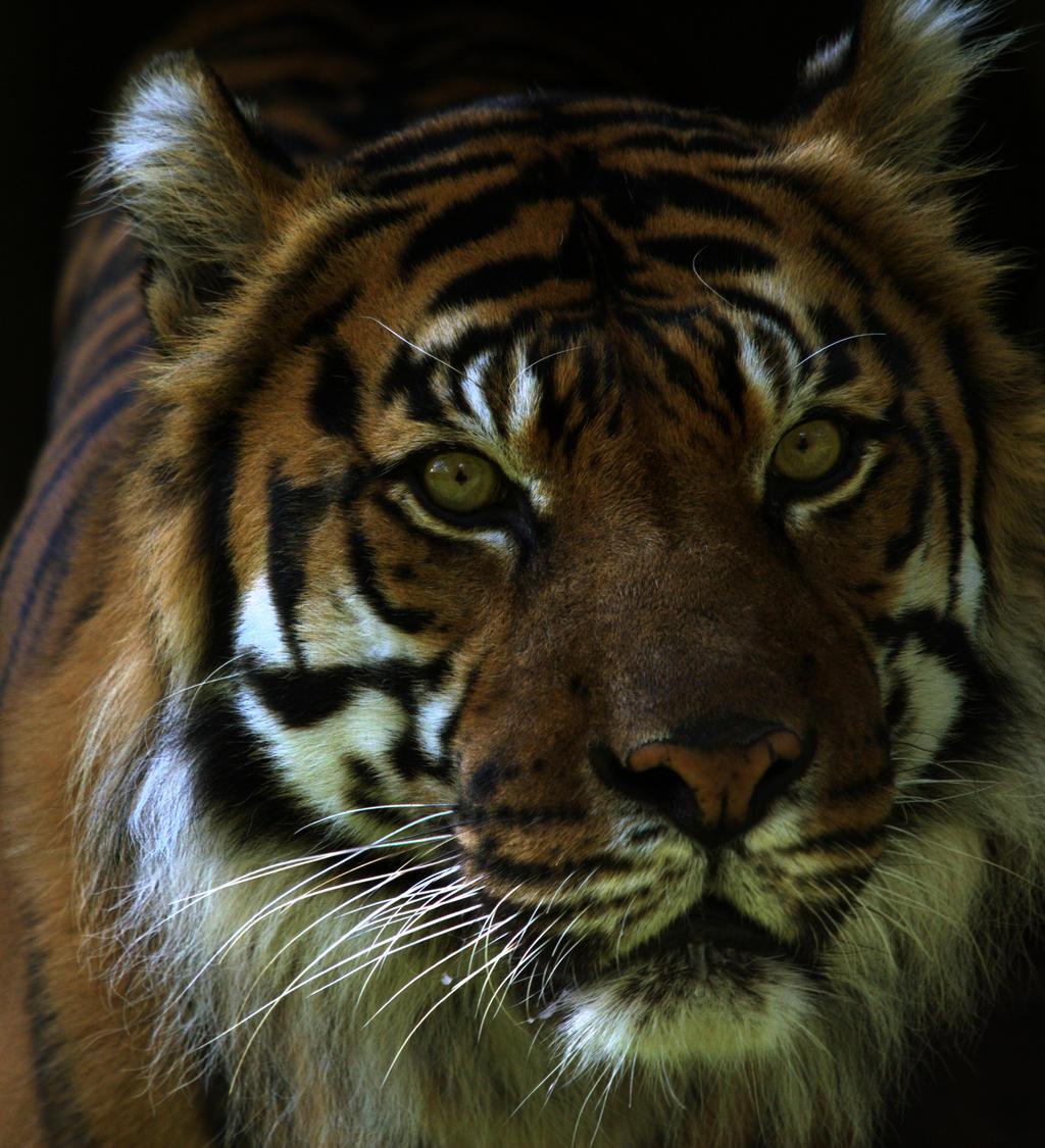 Sumatran Tiger 7728 by maddog1138