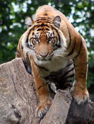 Tiger by maddog1138