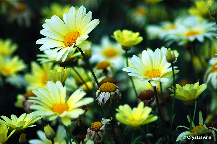 SOFT YELLOW DAISIES by PinkdreamPhotography