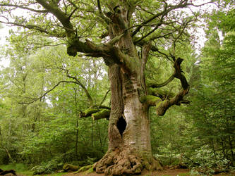 The old huge oak tree by WilliamSnape