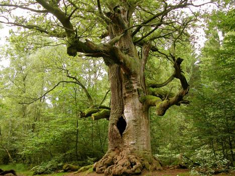 The old huge oak tree
