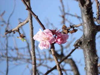 Tenmangu sakura by nyuna