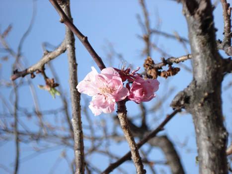 Tenmangu sakura