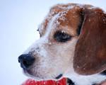 Winter Beagle