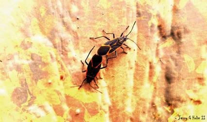 Box Elder Bugs - The Coupling of Despair