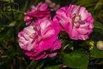 Alegrias flowers