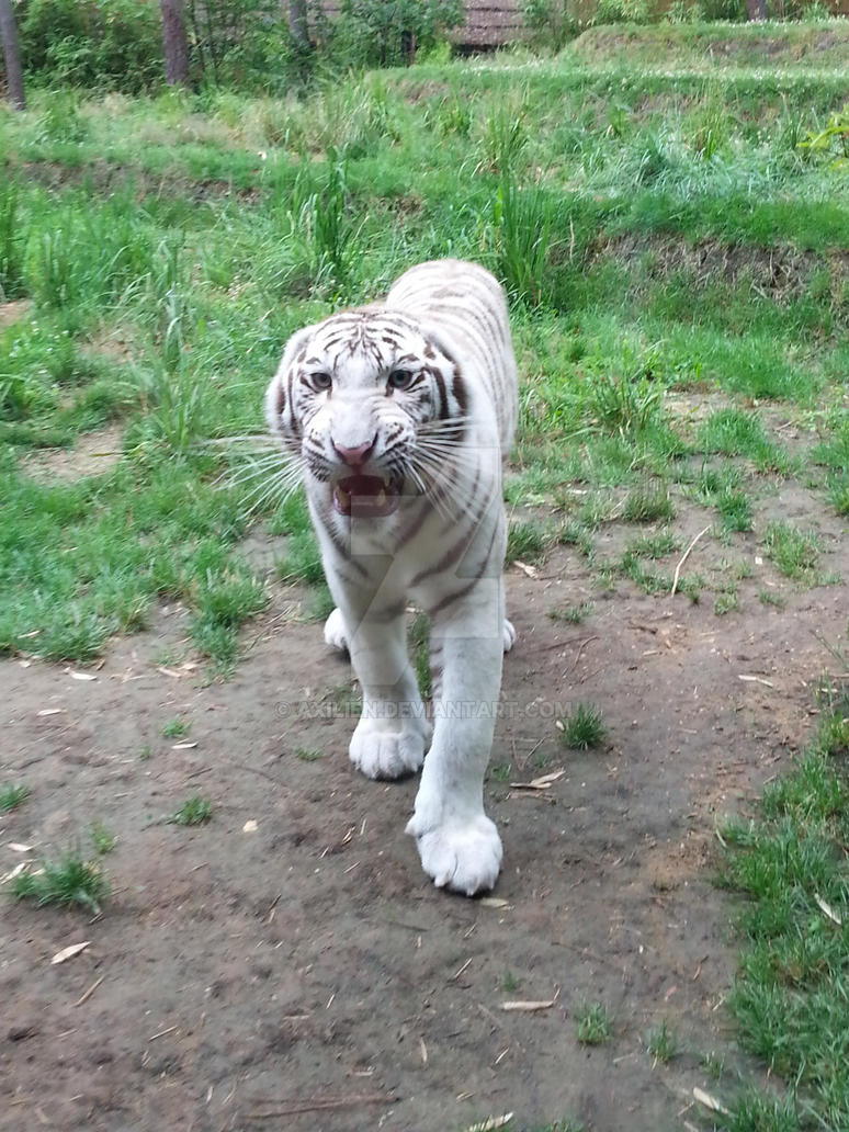 Tigre blanc by axilien